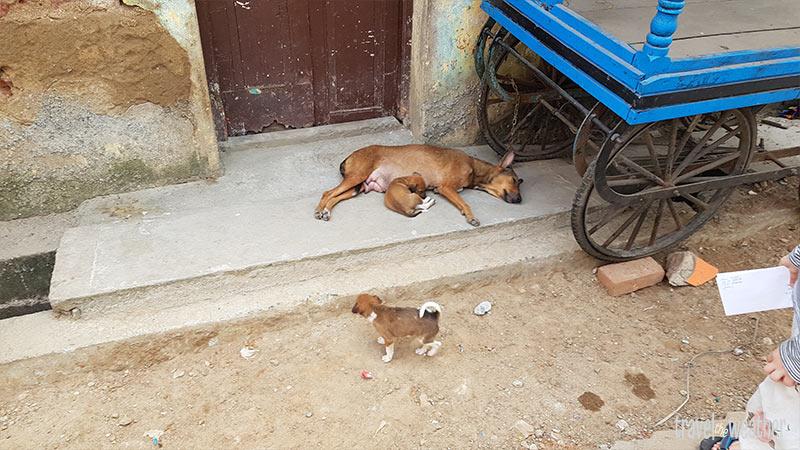 Chennai Hund Welpen