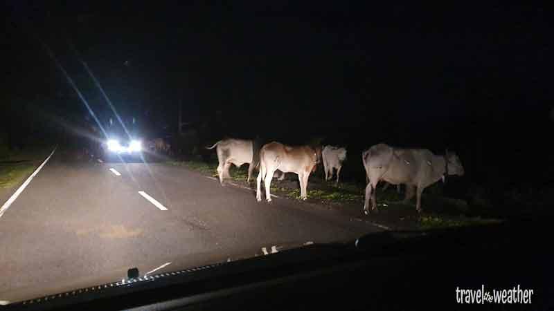 Kühe auf einer gut ausgebauten Straße auf Sumbawa.