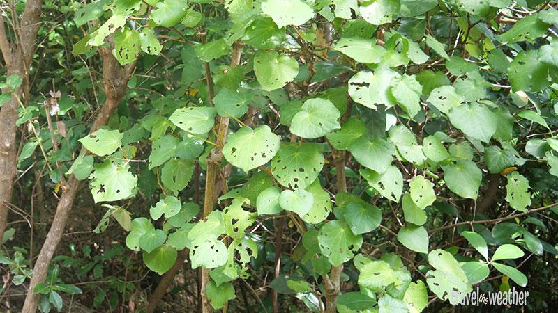 Die Kawakawa-Pflanze