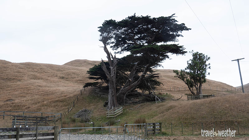Pflanze in Neuseeland vom Wind verformt.
